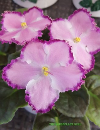African violet 'Disco Dancer'